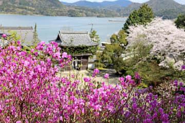 赤紫色のミツバツツジの花が咲き誇る如意寺(京丹後市久美浜町)