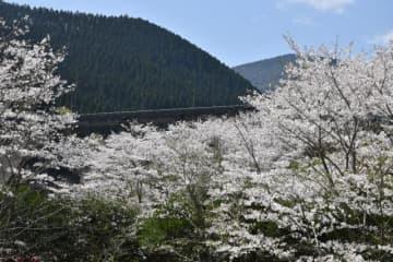 日南ダム付近で満開を迎えたソメイヨシノ