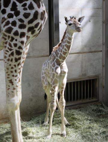 덴노지 동물원, 새끼 기린 탄생