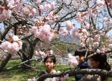 ふっくらとした花が見頃を迎えた宗堂桜=岡山市東区瀬戸町宗堂