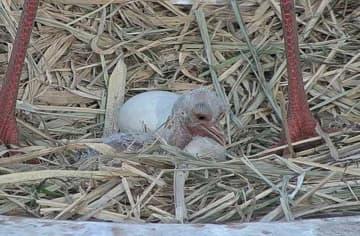 コウノトリのひな誕生 野田市の飼育施設で8年連続