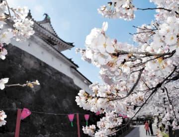 桜のトンネルのように咲き乱れる大手口の並木道