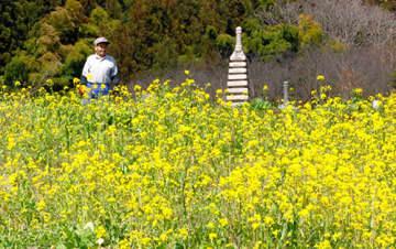 黄色の菜の花が満開になっている=天童市貫津