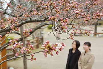 記録的な暖冬を受け、平年より2週間ほど早い開花が確認された日和山公園の桜=酒田市