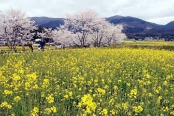 満開の桜並木と競演する菜の花