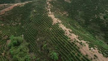 高セレン茶で貧困脱却を後押し 江西省万安県