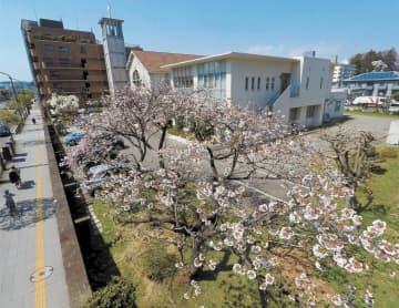 行き交う人々を見守るように満開となった八重桜とモクレン(奥)