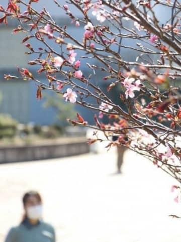 ピンクの花をほころばせる宇宙桜=7日