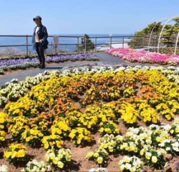 鮮やかに咲き誇るバンジーやビオラ=7日、長島町指江のサンセットの丘