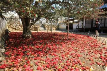 樹下を深紅に染めている圀勝寺のツバキ