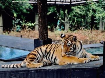 動物園の「トラ釣り」プログラム、「危険」と批判殺到、中止に―中国