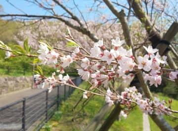 大磯運動公園の大磯小桜(4月4日撮影)