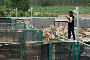 An official counts zebras at a private zoo in Chachoengsao province. A ban on imported animals was imposed following the outbreak of African horse sickness. Photo by department of national parks, wildlife and plant conservation
