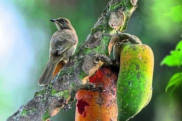 Streak-eared bulbul. Photo: Parinya Padungthin