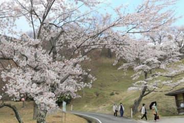 ウッドパーク声ケ乢一帯に咲き誇る桜