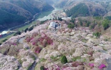 空から花見! 咲き誇る5千本桜 美咲・三休公園、ドローンで春色撮影