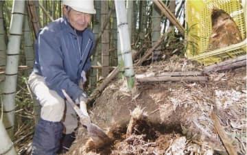 タケノコを掘る浅里耕一郎さん(和歌山県田辺市上万呂で)