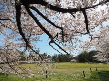 満開を迎えた桜。例年なら花見客でにぎわう大芝生地に人影はない(京都市左京区・府立植物園)
