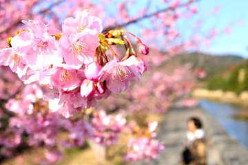 【2月5日(水)掲載】見ごろを迎えている河津桜=五島市奥浦町