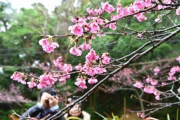 山々ピンクに 本部と今帰仁、あすから桜まつり