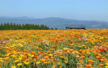 見頃を迎えた生駒高原のポピー。休園中のため、今年はSNSで動画を公開している
