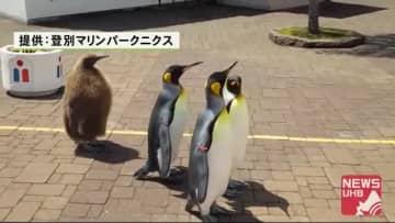 """「みんな待って~」1羽だけ""""色違い""""のキングペンギン…ぴったりくっついて散歩するワケは?"""
