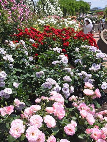 色とりどりの花を咲かせ、来園者を楽しませているバラ=揖斐郡大野町加納、バラ公園