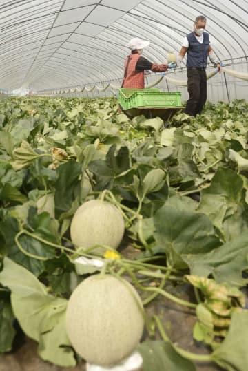 北海道夕張市で始まった「夕張メロン」の収穫=24日午前