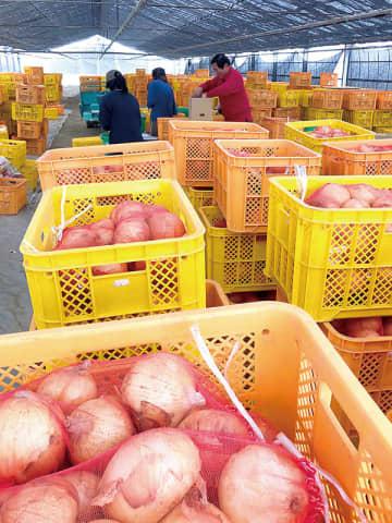さいたま市役所などで販売する新タマネギの出荷作業=22日午後、さいたま市緑区高畑の若谷農園