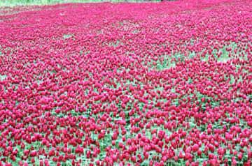 咲き誇るクリムゾンクローバー