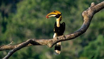 鳥の世界の「イクメン」、オオサイチョウが子育てに奮闘