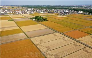 「麦秋の郷」玉村 収穫期の麦畑 太陽浴びて黄金色に輝く