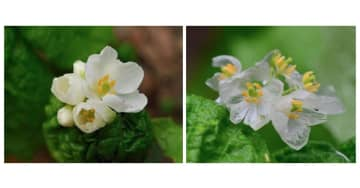 濡れると透明になる花「サンカヨウ」が神秘的…なぜ白から変化? 2つの植物園に聞いた 画像