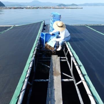 買い手激減で行き先に困る 愛媛県産養殖マダイ200トンを購入 コロナ禍で苦境に立たされる漁業者と協力