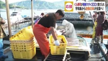 くら寿司が養殖マダイ200t受け入れ【愛媛・宇和島市】