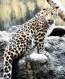 神戸・王子動物園のアムールヒョウ「トライ」が横浜へ