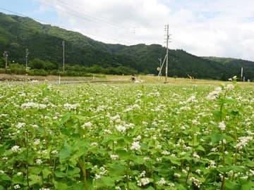 ソバの花、古戦場に彩り 関ケ原町