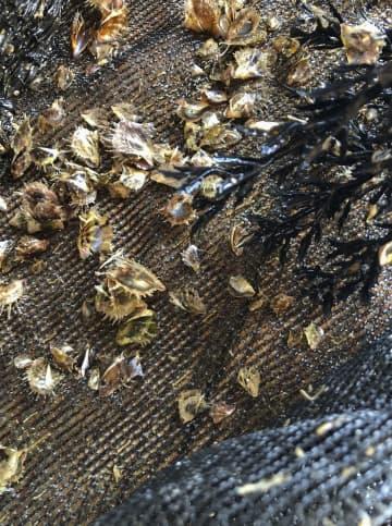 三重県内で死んだアコヤガイの稚貝=6月(三重県水産研究所提供)