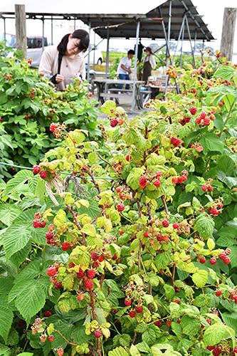 真っ赤に色づいたラズベリー。土日のみ摘み取りを楽しむことができる=庄内町・はらぺこファーム