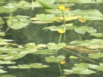 絶滅危惧種の黄色い花