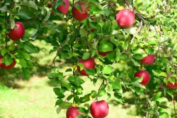 日本のりんごを世界へ!株式会社日本農業と株式会社ファーマインドが青森県に合弁会社「ジャパンアップル株... 画像