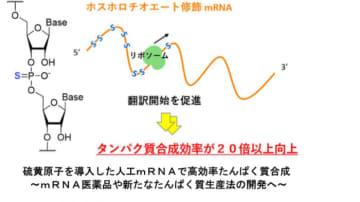 20倍の効率でタンパク質合成する人工mRNA開発 医薬品への応用期待 名大ら