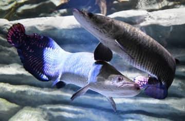多摩川からアマゾンまで「世界の水辺」紹介 川崎初の水族館で内覧会
