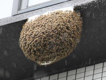珍景!? マンション高層階にミツバチの巣