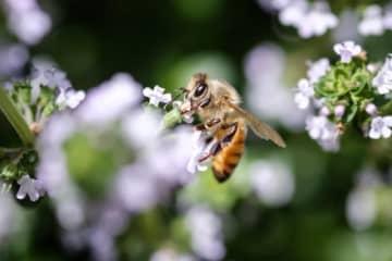 8月3日は「はちみつの日」。今、マヌカ蜂蜜が大注目されているワケ