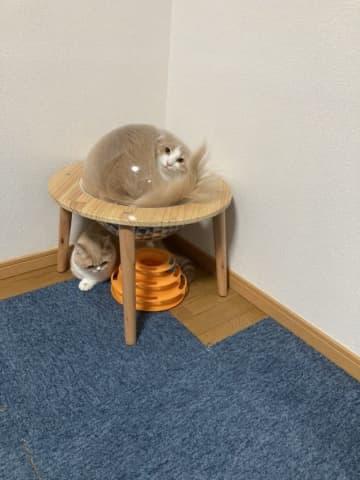 【猫は液体説!?】ネットで話題の「水まんじゅう猫」ちゃんがこちらです。
