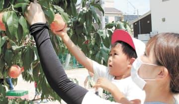 モモの実「意外と重い」 福島の園児、初めての収穫体験