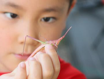 ピンクのバッタ捕獲 水戸市の小学生、ストロベリーと名付ける