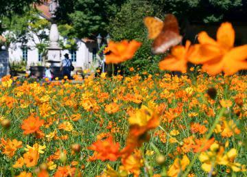 夏惜しむオレンジ色の花 キバナコスモス稲敷で見頃