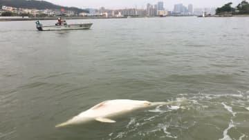 マカオ沿岸に絶滅危惧種「ピンクイルカ」の死骸が漂着…今年4頭目